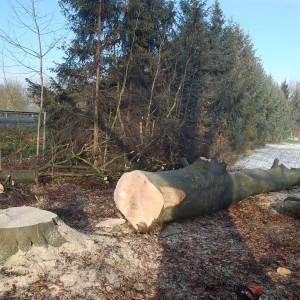Abattage d'arbre dans le haut -Rhin